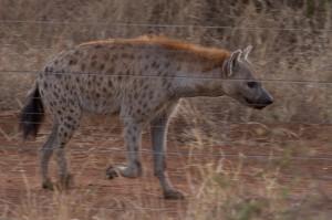 Op de heenweg naar Makalali liep aan de andere kant van het hek een Hyena een stuk met ons op
