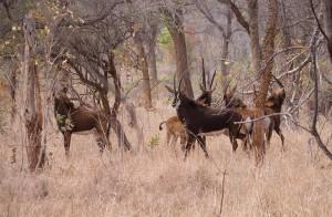 Sable antilopen
