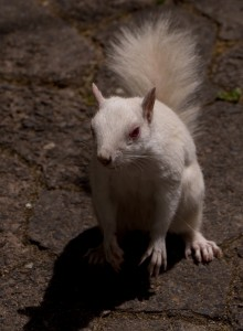 Een albino Tree Squirrel in de VOC-tuinen