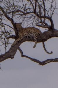 ... en een luipaard (nog net voordat hij naar beneden sprong)
