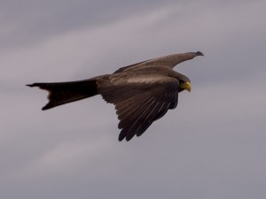 Yellow-billed Kite,zwevend  boven de brug over de Olifantsrivier