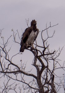"Martial Eagle, een van de ""Big 6 Birds"""