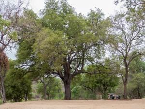De pauzeplek onder een reusachtige Jackal-berry boom (waainr ik met m'n ouders tevergeefs een Purple-crested Turaco gezocht heb)