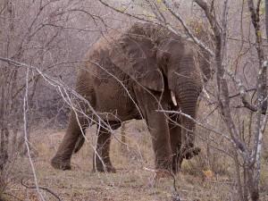 Mannetjes olifant...
