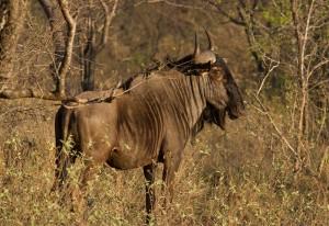 Blue Wildebeest...