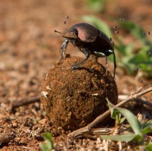 Het wemelt hier sinds een week of twee van de mestkevers