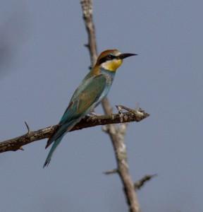 Ik wist gisteren dat het een Bee-eater was, maar niet welke. De European Bee-eater dus...