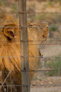 De leeuw in Karongwe vindt het niet heel interessant allemaal...