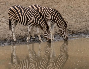 Zebra's aan de drinkplaats...