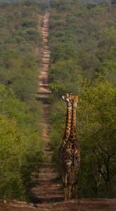 Twee giraffen