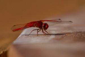 Dragonfly aan de rand van het zwembad