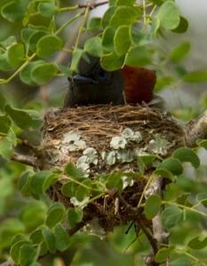 Vanmorgen een nieuw nest ontdekt achter ons huis: African Paradise Flycatcher!