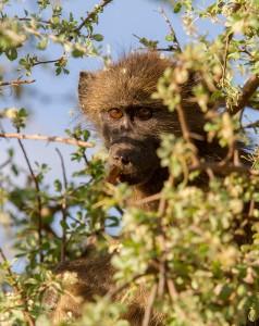 Baviaan in een boom