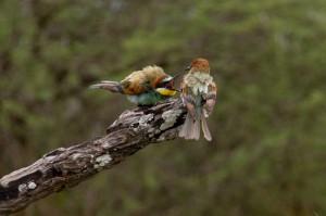 Een hele zwerm European Bee-eaters wordt door ons van de weg gejaagd