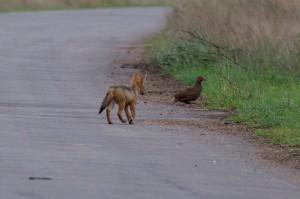 Deze Swainson's Spurfowl lijkt zich weinig zorgen te maken over de jakhals pup