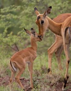 Moeder met Impala-kalf