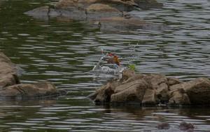 ... en een vissende Malachite Kingfisher op een meter of vijftig
