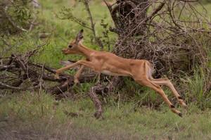 Impala-kalf is om onduidelijke reden heen en weer aan het speren