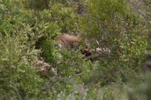 De Hyena haalt uit naar gieren die te dichtbij komen...