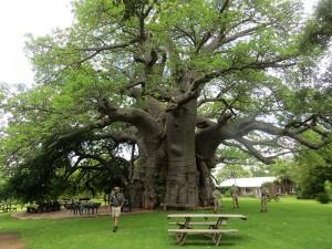 De grootste Baobab van de wereld. Foto: Ashley Bamforth