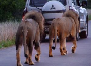 Synchroonwandelen voor mannetjes-leeuwen