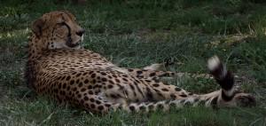 De Cheetah rust uit na gedane zaken