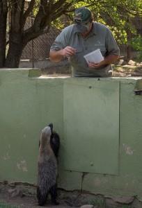 Stoffel de Honey Badger krijgt wat lekkers...