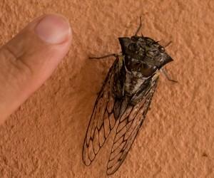 Enorme Cicade boven onze wasbak