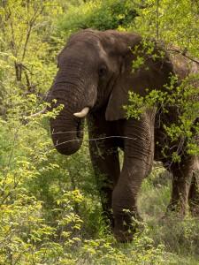 Mannetjes-olifant loopt tevreden te ronken, als teken dat hij op zijn gemak is met ons gezelschap
