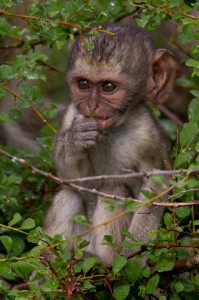 Jonge Vervet Monkey
