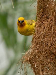 Spectacled Weaver bij zijn nest