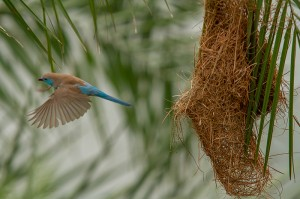 Blue Waxbill vliegt eerst nog onverrichter zake weg...