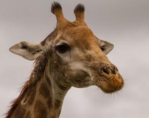 Giraf op twee meter van de auto
