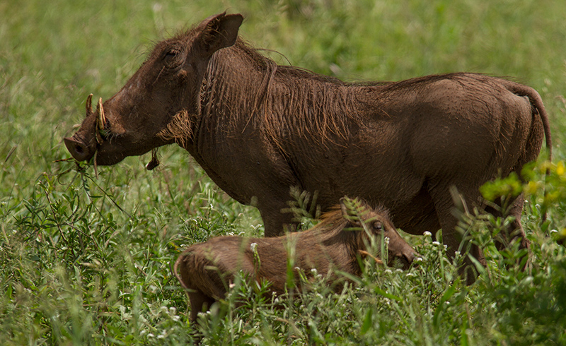 Wrattenzwijn met biggetje