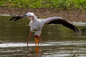 Yellow-billed Stork beweegt zijn poten langzaam door de modder...