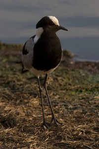Blacksmith Lapwing langs de waterkant