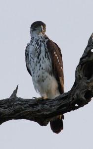 African Hawk Eagle...