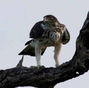 ... op zijn hoede als hij lastig gevallen wordt door een Fork-tailed Drongo