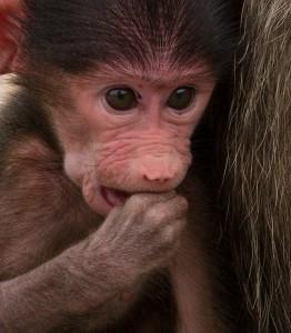 Een klein baviaantje...