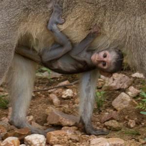 Klassieke pose voor een jonge Vervet Monkey...