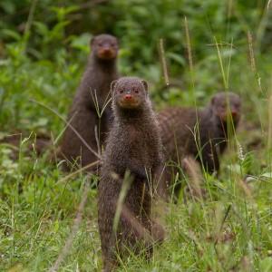 ... en voor de stokstaartjes (Banded Mongoose)