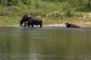 Buffels doen hun Aziatische neefjes na (Waterbuffels)