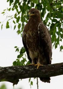 Wahlberg's Eagle langs de weg naar Pretoriuskop