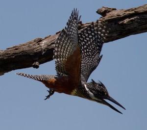 De Giant Kingfisher jaagt om onduidelijke reden de Malachite Kingfishers op
