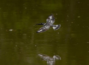 ... en Pied Kingfisher in de vlucht