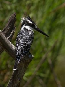 De Pied Kingfisher zit doodstil te wachten...
