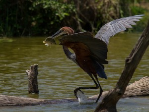 De Goliath Heron heeft beet