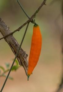 Een survival-regel: alles wat op een tomaat of een komkommer lijkt, moet je NIET proberen te eten