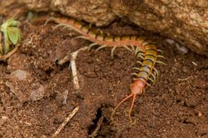 ... en nog eentje. Centipedes zijn carnivoren (in tegenstelling tot Millipedes) en hebben bovendien een giftige beet