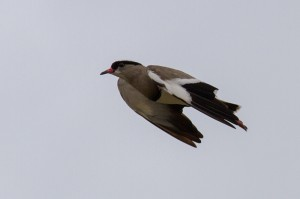 Crowned Lapwing in de vlucht